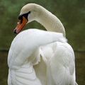 Elegant white swan at the lake Royalty Free Stock Photo