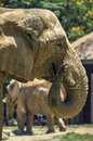 Elelphant an image of an african elephant Stock Image