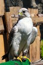 elengant bird of pray lurking on his victim