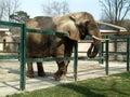Elephant Royalty Free Stock Images