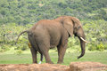Elephant addo elephant national park pooping and peeing south africa Royalty Free Stock Photo