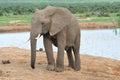 Elephant, Addo Elephant National park, South Africa Royalty Free Stock Image