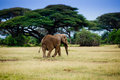 Elephant in Amboseli Royalty Free Stock Photo