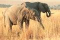 Elephant in amboseli at sunset national park kenya Stock Photos