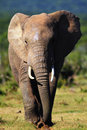 Elephant approaching Stock Photos