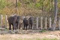 Elephant asian elephants smaller than their african cousins are highly endangered Stock Photography