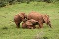 Elephant babies Royalty Free Stock Photo