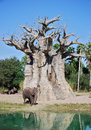 Elephant and baobab tree african safari with an standing in front of a Stock Photography