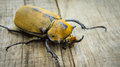 Elephant beetle a close up of an on wood background Royalty Free Stock Images