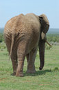 Elephant behind walking away showing wrinkled taken in south africa Stock Photography