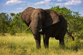 Elephant bull Royalty Free Stock Images