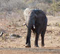Elephant bull with large tusks approaching Royalty Free Stock Photos