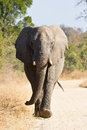 Elephant Bull Walking In Nature