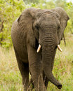 Elephant in the Bush in South Africa Stock Images