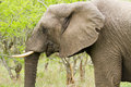 Elephant in the Bush in South Africa Stock Photo