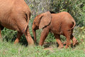 Elephant Calf Royalty Free Stock Images