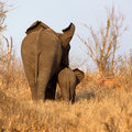 Elephant with Calf Royalty Free Stock Photo