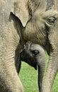 Elephant & Calf Royalty Free Stock Photo