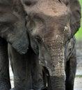 The elephant calf and elephant cow the african forest elephant loxodonta africana cyclotis dwelling of congo basin at dzanga Stock Images
