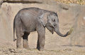 Elephant calf 3 Royalty Free Stock Photo