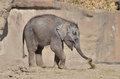 Elephant calf 2 Royalty Free Stock Photo