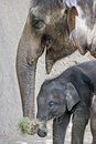 Elephant and calf mother with its baby Stock Photo