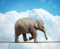 Elephant calf on tightrope elehant balancing a concept for risk conquering adversity and achievement Stock Photos