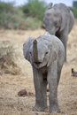 Elephant calf with trunk raised Royalty Free Stock Photo