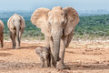Elephant calf walking next to its mother Royalty Free Stock Photo