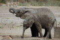 Elephant calves covered in mud