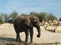Elephant on the catwalk in zoo of sigean france Royalty Free Stock Images