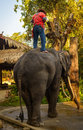 Elephant chiang mai thailand feb daily show at the thai conservation center mahout shows work with february in Royalty Free Stock Photo