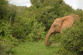 Elephant In Clearing