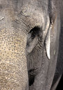 Elephant close up Royalty Free Stock Photo