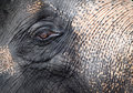 Elephant close-up portrait Royalty Free Stock Image