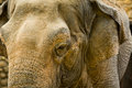 Elephant close up seeing skin texture and spots view of an asian elephas maximus Royalty Free Stock Photos