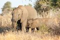 Elephant cow and calf in kruger np south africa Stock Photo