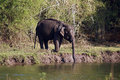 Elephant an is drinking water in the river Stock Image