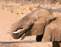Elephant drinking water thirsty Royalty Free Stock Photography