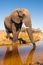 Elephant drinking water wild african in the wilderness Royalty Free Stock Photo