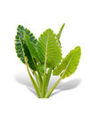 Elephant ear plant or caladium tree. Royalty Free Stock Photo