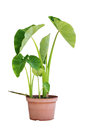 Elephant Ear Plants Stock Photography