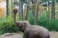 Elephant earing hay Royalty Free Stock Photo