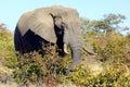 An elephant eating Royalty Free Stock Photo