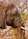 Elephant eating a branch with leaves Stock Images