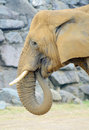 Elephant eating closeup profile of grass Royalty Free Stock Photo