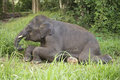 Elephant eating the grass Royalty Free Stock Photo