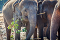 Elephant Eating in Group of Elephants Royalty Free Stock Photo