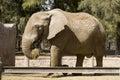 Elephant Eating Hay Royalty Free Stock Photo