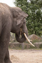 Elephant eating hay, side view head Royalty Free Stock Photo